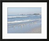 Laughing Gulls Along Crescent Beach  Sarasota  Florida  USA