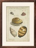 Vintage Shell Study IV