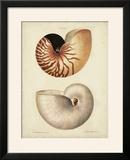 Antique Nautilus I
