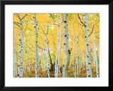 USA  Colorado  Rocky Mountains  Fall Colors of Aspen Trees