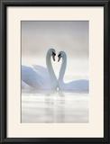 Mute Swans Pair in Courtship Behaviour Back-Lit
