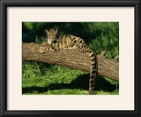 Clouded Leopard Resting on Log