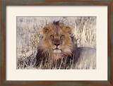 Lion Close-Up of Head  Facing Camera