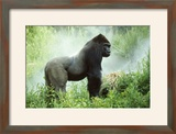 Lowland Gorilla Male Silverback