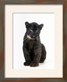 Black Panther Cub  16 Weeks Old