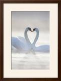 Mute Swans Pair in Courtship Behaviour