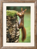 Red Squirrel Gripping to Side of Tree Stump