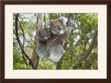 Koala Mother with Piggybacking Young Climbs Up