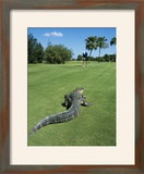 American Alligator on Golf Course