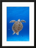 Portrait of a Green Sea Turtle Curacao  Netherlands Antilles
