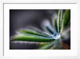 Rain Drop on a Lupine Leaf