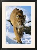 Puma in Winter