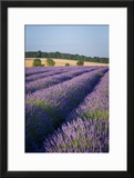 Rows of Lavender Near Snowshill  Cotswolds  Gloucestershire  England