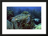 Swimming Green Turtle over Coral Reef Curacao  Netherlands Antilles