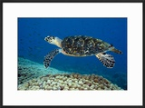 Hawksbill Sea Turtle Along a Coral Reef Curacao  Netherlands Antilles