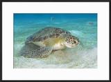 Green Sea Turtle Feeding on Sea Grass Curacao  Netherlands Antilles