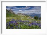 Aster  Lupine  Bistort  Indian Paintbrush  Mt Timpanogos  Utah