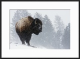 Bison Bull  Winter Storm