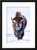 Wyoming  Yellowstone National Park  Bull Bison Walking in Hayden Valley