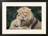 Lion and Cub Cuddle