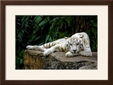 White Tiger Laying Down