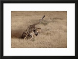 Namibia Cheetah Running at the Cheetah Conservation Foundation