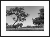 Botswana  Moremi Game Reserve  African Elephant at Moonrise
