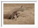 Namibia Cheetah Running at the Cheetah Conservation Foundation