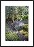 Olive Tree  Lavender and Grapevines in Gardem  Midi-Pyrenees  France