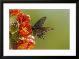 Arizona  Sonoran Desert Pipevine Swallowtail Butterfly on Blossom
