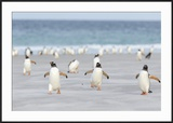 Gentoo Penguin Walking to their Rookery  Falkland Islands