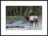 Roosevelt Bull Elk