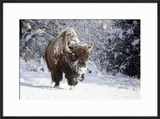 Wapiti  Wyoming Usa Bison Walking in the Snow