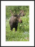 Moose in Wildflowers  Little Cottonwood Canyon  Wasatch-Cache NF  Utah