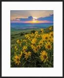 Washington State  Palouse Hills Landscape with Douglas' Sunflowers