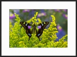 Purple Spotted Swallowtail Butterfly  Graphium Weskit