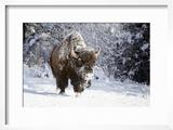 Wapiti  Wyoming Usa Bison Walking in the Snow