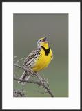 Western Meadow Lark Singing