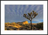 Joshua Trees in Sunset Light in Joshua Tree NP  California  USA