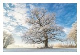Cold Oak