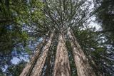 Redwood Trees Sky 1