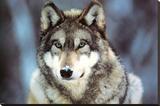 WWF - Grey Wolf