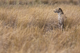 A Camouflaged Female Leopard Stalks Her Prey In High Grass