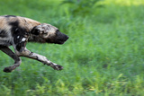 An African Wild Dog Hunting  Running Intensely After It's Prey Zimbabwe 2009