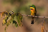 Kafue National Park  Zambia Portrait Of A Little Bee-Eater (Merops Pusillus)