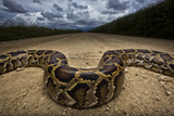 Miami  FL Portrait Of A Burmese Python On A Dirt Road Crossing Between Two Corn Fields