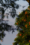 A Bird Perched In A Flamboyant Tree Along The Brahmaputra River