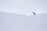 Gentoo Penguin During Snow And Whiteout Conditions In Antarctica