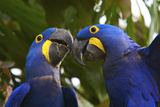 A Pair Of Endangered Hyacinth Macaws  Anodorhynchus Hyacinthinus  Playing