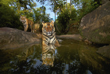 Tiger Cubs Rest At A Waterhole In Bandhavgarh National Park